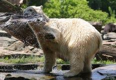 icebear играть Стоковые Изображения RF