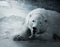 icebear Obrazy Stock