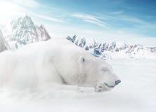 IceBear Imagen de archivo