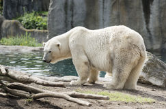 Icebear Stock Photography