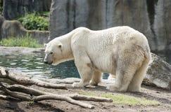 Icebear. Big white icebear near the water stock photography