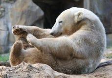 Icebear, das Sport tut Stockbilder