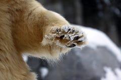 Icebear paw closeup. A big Icebear paw closeup in the snow stock photos