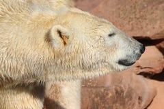 Icebear som går i zoo i Tyskland i nuremberg royaltyfri fotografi