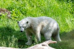 Icebear in summer on green background. Icebear in summer on a green background stock image