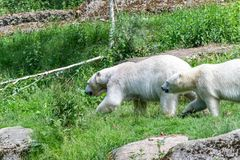 Icebear in summer on green background. Icebear in summer on a green background royalty free stock images