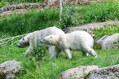 Icebear in summer on green background royalty free stock photography