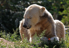 Icebear in the sunshine. An icebear lieing on a meadow in the sunshine royalty free stock images