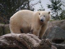 Icevear. The icebear turned his head too look at the food stock photos