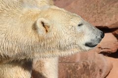 Icebear walking in zoo in germany in nuremberg royalty free stock photography