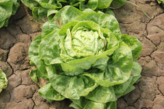 Iceberg lettuce. Lactuca sativa var capitata, cultivar with head of tightly wrapped leaves, crisp, crunchy and succulent, suitable and sandwiches, Asteraceae Royalty Free Stock Photography