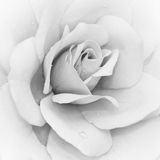 Iceberg Rose (Rosa). Iceberg Rose (Rosa) - Floribunda in black & white Royalty Free Stock Photography