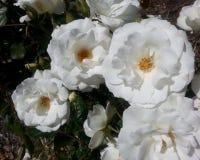 Iceberg Roses Stock Photos
