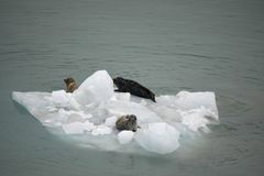 Iceberg with three sea lions stock photography