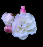 Iceburg Rose Royalty Free Stock Image