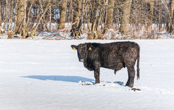 Iced Angus bull in newly fallen snow Stock Image