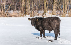 Iced Angus bull in newly fallen snow Stock Photography