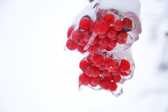 Iced Bunch of Viburnum stock images