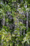 Iced bush Stock Images