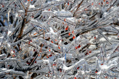 Iced bush with red berries Stock Image