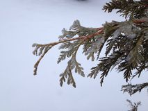 Iced cedar bough Stock Photos