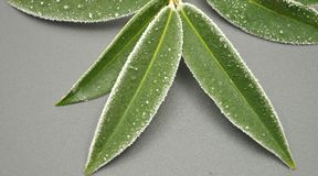 Iced cherry laurel Stock Images