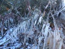 iced filial Arkivbilder
