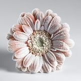 Iced gerbera flower. Symbolic picture showing a ice covered  gerbera flower in light back Stock Photos