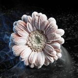 Iced gerbera flower Royalty Free Stock Photo