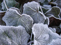 iced leaves Royaltyfri Bild