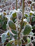 Iced leaves in the Belgian Ardennes. Leaves with ice on in the Belgian Ardennes stock images