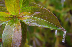Iced leaves Royalty Free Stock Photography