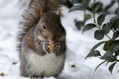 Iced Nut Stock Photography