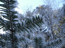 Iced pinetree. During winter with snow and low temperatures Royalty Free Stock Images