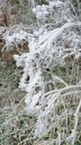 Iced plants in the Belgian Ardennes. White plants during winter in the Belgian Ardennes royalty free stock image