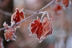 Iced red leaves of maple Royalty Free Stock Image