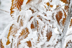 Iced snow on beech leaves close-up Stock Image