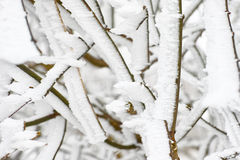 Snow iced on branches Stock Image