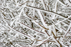 Snow iced on branches of a bush Stock Images