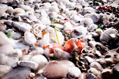 Iced stones and grass on the seashore in winter Royalty Free Stock Photo