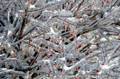 Iced tree branch with red berries 4 Royalty Free Stock Photos