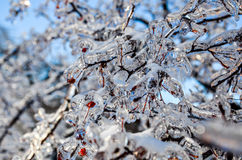 Iced tree branch with red berries 3 Stock Images