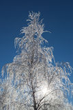 Iced Tree Stock Image