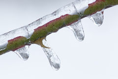 Iced Twig Stock Images
