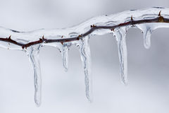 Iced Twig Royalty Free Stock Image