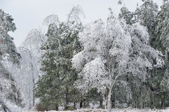 Iced Winter Forest Stock Images