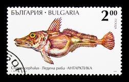 Icefish Chaenocephalus sp 植物群和动物区系serie,大约1995年 库存图片