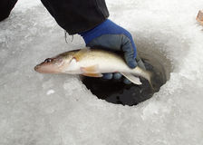 Icefishing For Walleyes Royalty Free Stock Photos