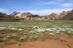 Iceland. Beautiful mountains and white cottongrass flowers. Famous volcanic area with rhyolite rocks - Landmannalaugar Stock Image