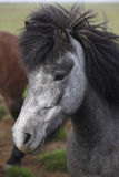Iceland. Black and white icelandic horse head. Royalty Free Stock Photography